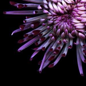 Spider Chrysanthemum by Magda Indigo