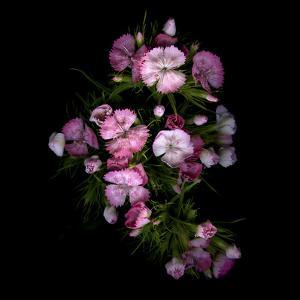 Sweet William 1 by Magda Indigo