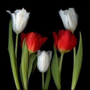 Tulip Frazzle by Magda Indigo