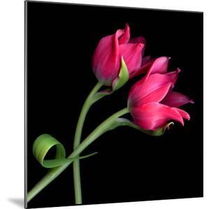 tulip by Magda Indigo