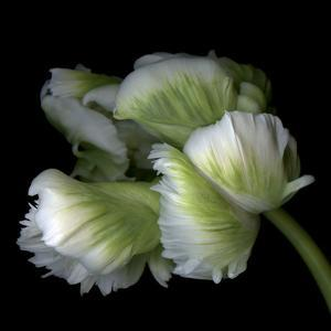 White And Green Parrot Tulip by Magda Indigo