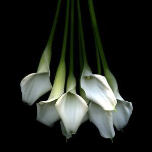 White Callas by Magda Indigo