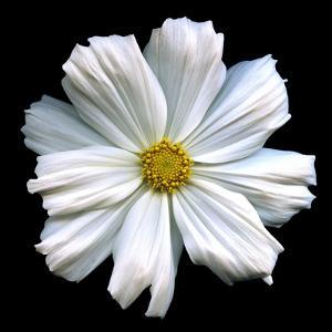 White Cosmos 3 by Magda Indigo
