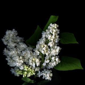 White Lilac 9 by Magda Indigo