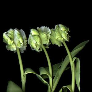 White Parrot Tulips by Magda Indigo