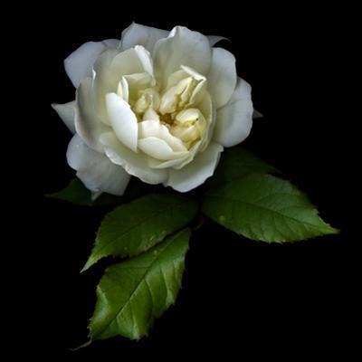 White Rose by Magda Indigo