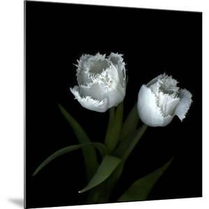 Wo Frayed Egos - Tulips by Magda Indigo