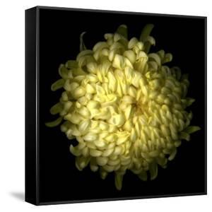 Yellow Chrysanthemum 1 by Magda Indigo