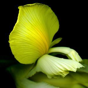 yellow_iris by Magda Indigo