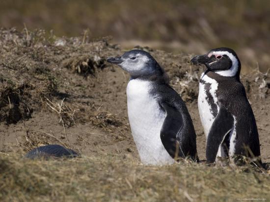 Magellanic Penguin Colony, Seno Otway, Patagonia, Chile, South America-Sergio Pitamitz-Photographic Print