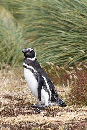 Magellanic Penguin, in Typical Tussock Environment. Falkland Islands-Martin Zwick-Photographic Print