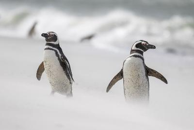Magellanic Penguin on Beach. Falkland Islands-Martin Zwick-Photographic Print