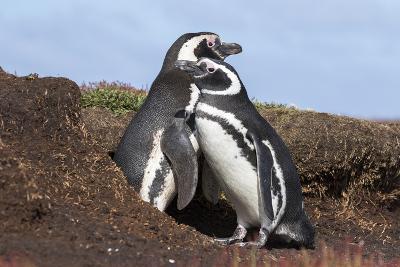Magellanic Penguin, Pair at Burrow. Falkland Islands-Martin Zwick-Photographic Print
