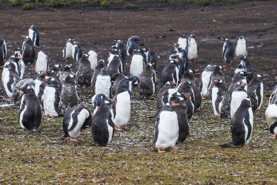 Magellanic penguin (Spheniscus magellanicus) colony, Carcass Island, West Falklands, Falkland Islan-Michael Runkel-Photographic Print