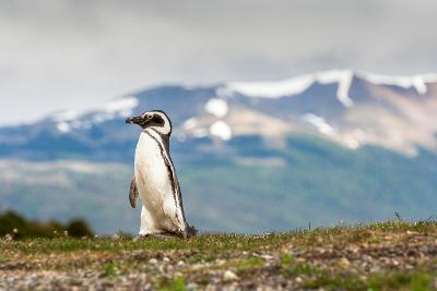 Magellanic Penguin with Mountainous Background-James White-Photographic Print
