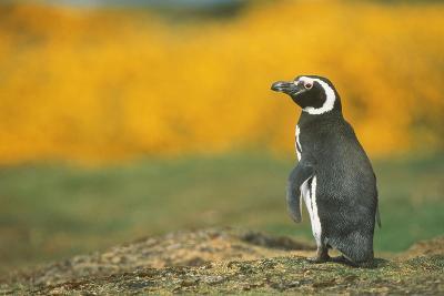 Magellanic Penguin-DLILLC-Photographic Print