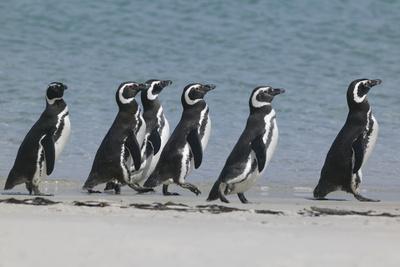 https://imgc.artprintimages.com/img/print/magellanic-penguins-walking-on-beach_u-l-pzr3sn0.jpg?p=0
