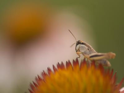 Magnification of a Grasshopper Sitting on a Purple Coneflower Plant-Phil Schermeister-Photographic Print