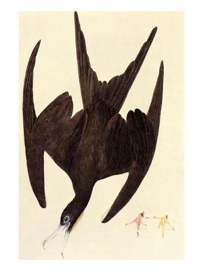 Magnificent Frigate Bird-John James Audubon-Art Print