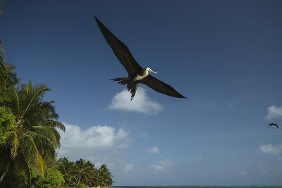 Magnificent Frigatebird, Half Moon Caye, Lighthouse Reef, Atoll, Belize-Pete Oxford-Photographic Print