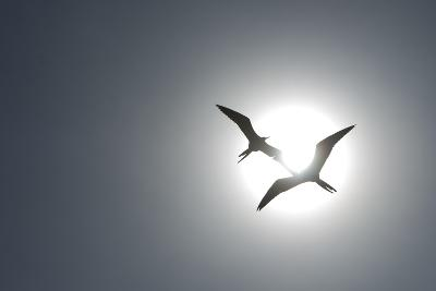 Magnificent Frigatebirds in Flight over Isla Iguana-Michael Melford-Photographic Print