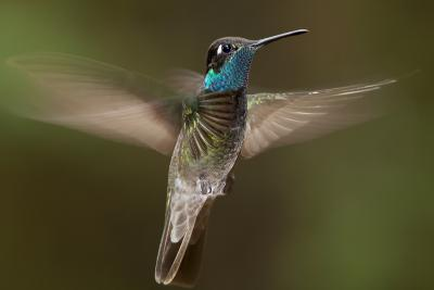 Magnificent Hummingbird (Eugenes Fulgens) Male, Flying, Milpa Alta Forest, Mexico, May-Claudio Contreras Koob-Photographic Print