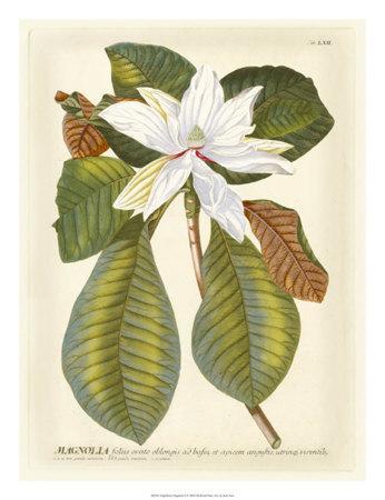https://imgc.artprintimages.com/img/print/magnificent-magnolias-ii_u-l-f3ljbu0.jpg?p=0