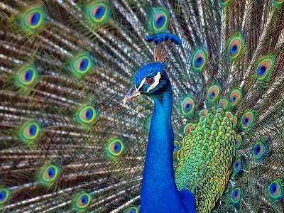 Magnificent Peacock-Sandra L. Grimm-Photographic Print