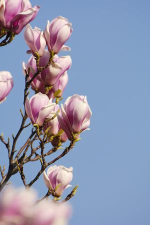 https://imgc.artprintimages.com/img/print/magnolia-blossom-tulip-magnolia_u-l-q11veav0.jpg?p=0