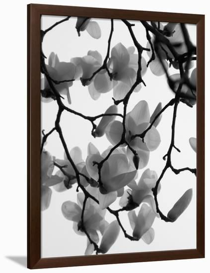 Magnolia Blossoms Silhouetted in Black and White on a Tree-Andrea Sperling-Framed Premium Photographic Print