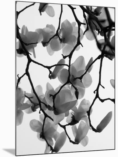 Magnolia Blossoms Silhouetted in Black and White on a Tree-Andrea Sperling-Mounted Photographic Print