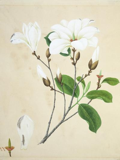 Magnolia, c.1800-40--Giclee Print