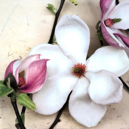 Magnolia Diva I-Heather Johnston-Art Print