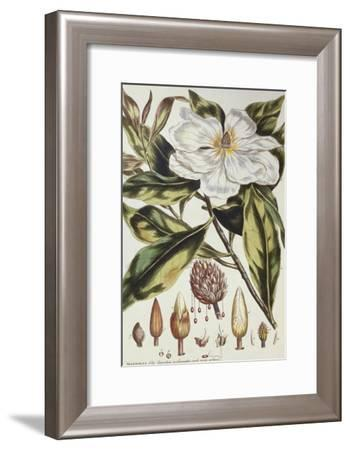 Magnolia, Figures of the Most Beautiful, Useful and Uncommon Plants, c.1757-Philip Miller-Framed Giclee Print