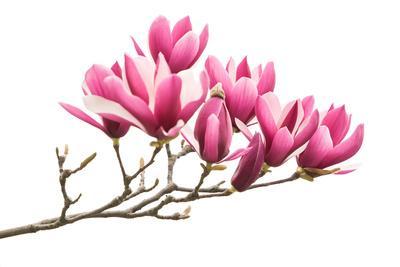 https://imgc.artprintimages.com/img/print/magnolia-flower-spring-branch-isolated-on-white-background_u-l-q1bzkzh0.jpg?p=0