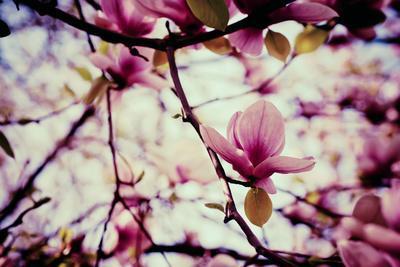 https://imgc.artprintimages.com/img/print/magnolia-flowers_u-l-q1037lf0.jpg?p=0