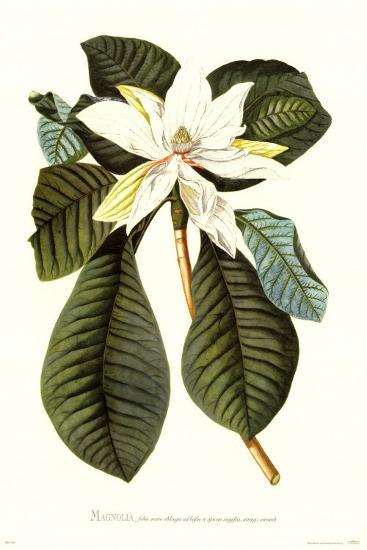 Magnolia Folis Oblongis-Georg Dionysius Ehret-Art Print