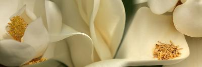 Magnolia Heaven Flowers--Photographic Print