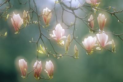 Magnolia In Flower-David Nunuk-Photographic Print