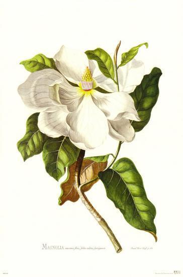 Magnolia Maxime Flore-Georg Dionysius Ehret-Art Print