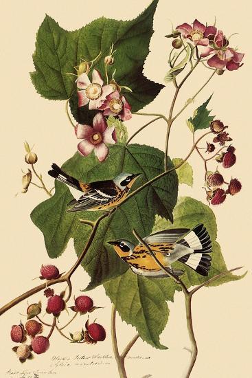 Magnolia Warblers-John James Audubon-Giclee Print