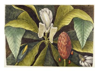 Magnolia-Mark Catesby-Giclee Print