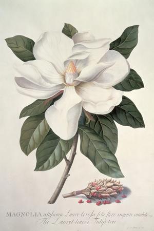 https://imgc.artprintimages.com/img/print/magnolia_u-l-q1g8dly0.jpg?p=0