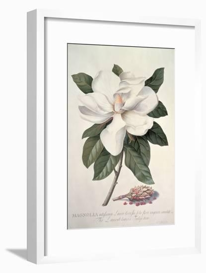Magnolia-Georg Dionysius Ehret-Framed Giclee Print