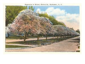 Magnolias in Bloom, Rochester, New York