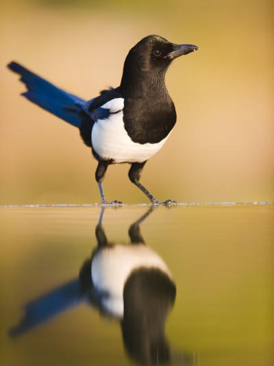 Magpie Coming to Drink at a Pool, Alicante, Spain-Niall Benvie-Photographic Print
