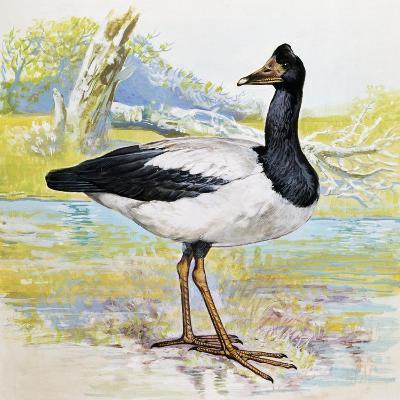 Magpie Goose (Anseranas Semipalmata), Anseranatidae--Giclee Print