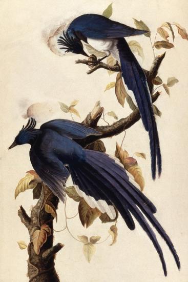Magpie Jay, 1829-John James Audubon-Giclee Print