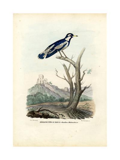 Magpie-Lark, 1863-79-Raimundo Petraroja-Giclee Print