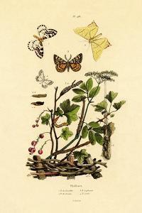 Magpie Moth, 1833-39